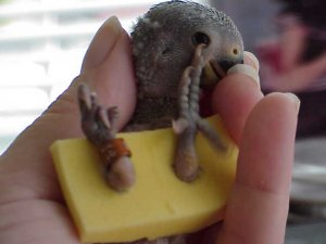 Mumtaztic Pigeon Loft - Baby Pigeons and their needs and ...