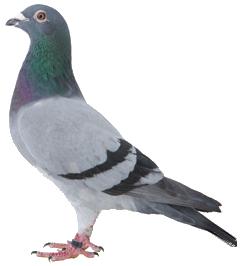 Mumtaztic Pigeon Loft - Pigeon Genetics - Pigeon Colors