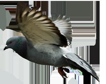Mumtaztic Pigeon Loft - Pigeon Genetics - Pigeon Eye Colors