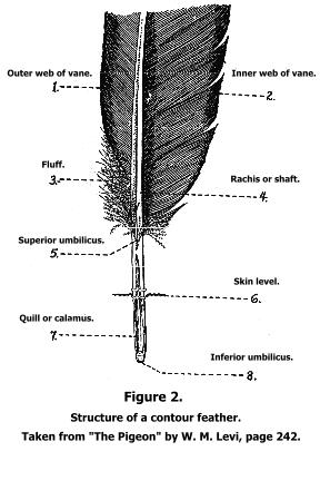 mumtaztic pigeon loft origin of the english tippler Cord Blood Diagram
