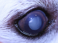 Cataract Dog