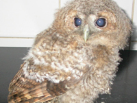 Cataract Owl