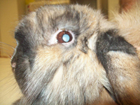 Cataract Rabbit