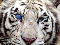 Cataract Tiger
