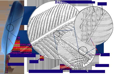feather_diagram 8 best anatomy images anatomía animal, anatomía, aves