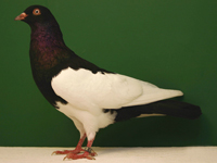 German Magpie, Black, Bred by: Wes Heidrich